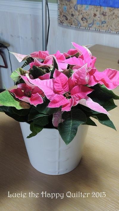 Poinsettia 2014 1