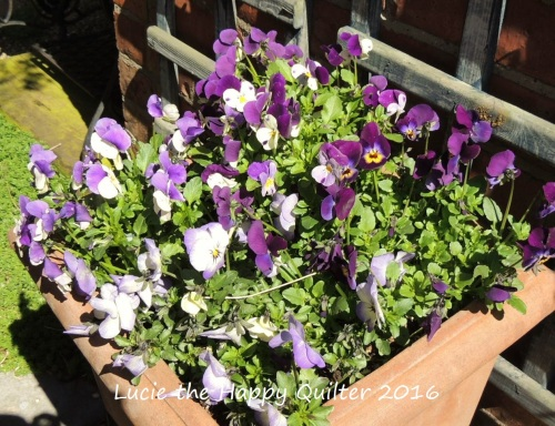 Violas in the garden